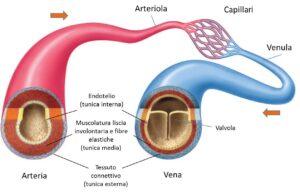 Il Covid-19 colpisce l'endotelio dei vasi sanguigni